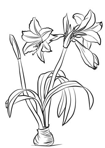Amaryllis Flower Drawing