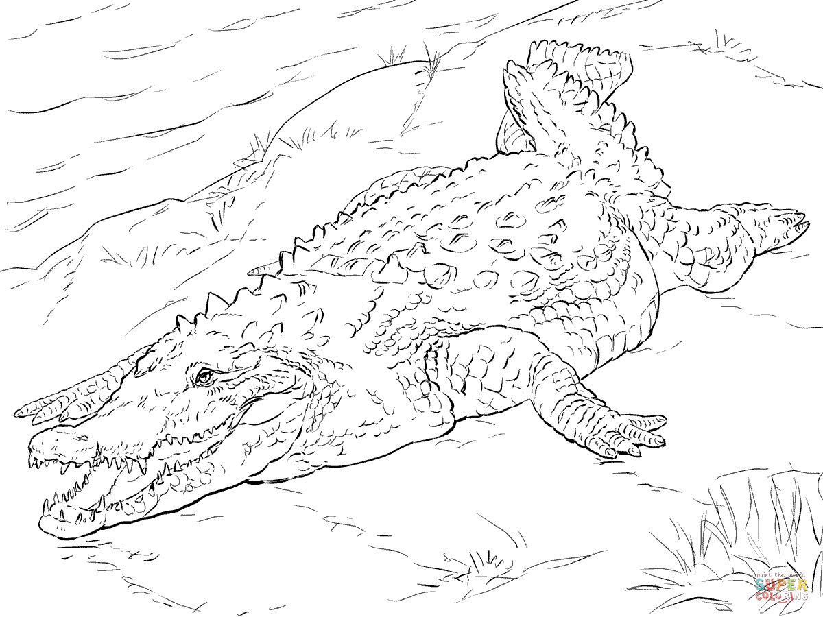 1200x900 American Crocodile Coloring Page In Snazzy Draw Alligator