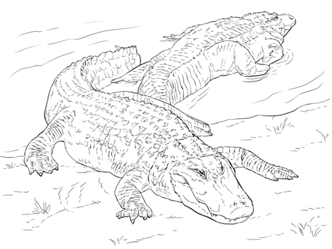 480x360 Two American Alligators Coloring Page Free Printable Coloring Pages