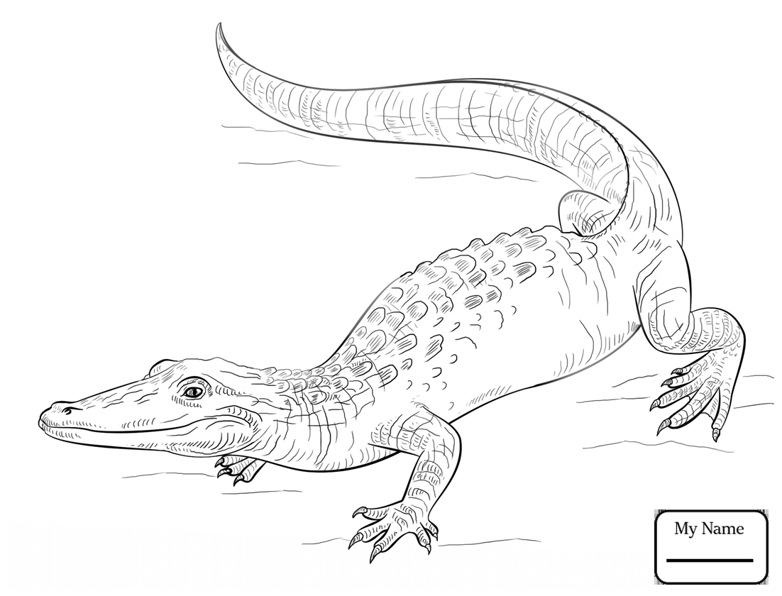 1102x840 Coloring Pages Alligators American Alligator Reptiles