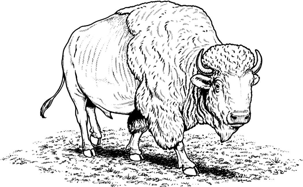 1050x650 Free Printable Bison Coloring Pages For Kids