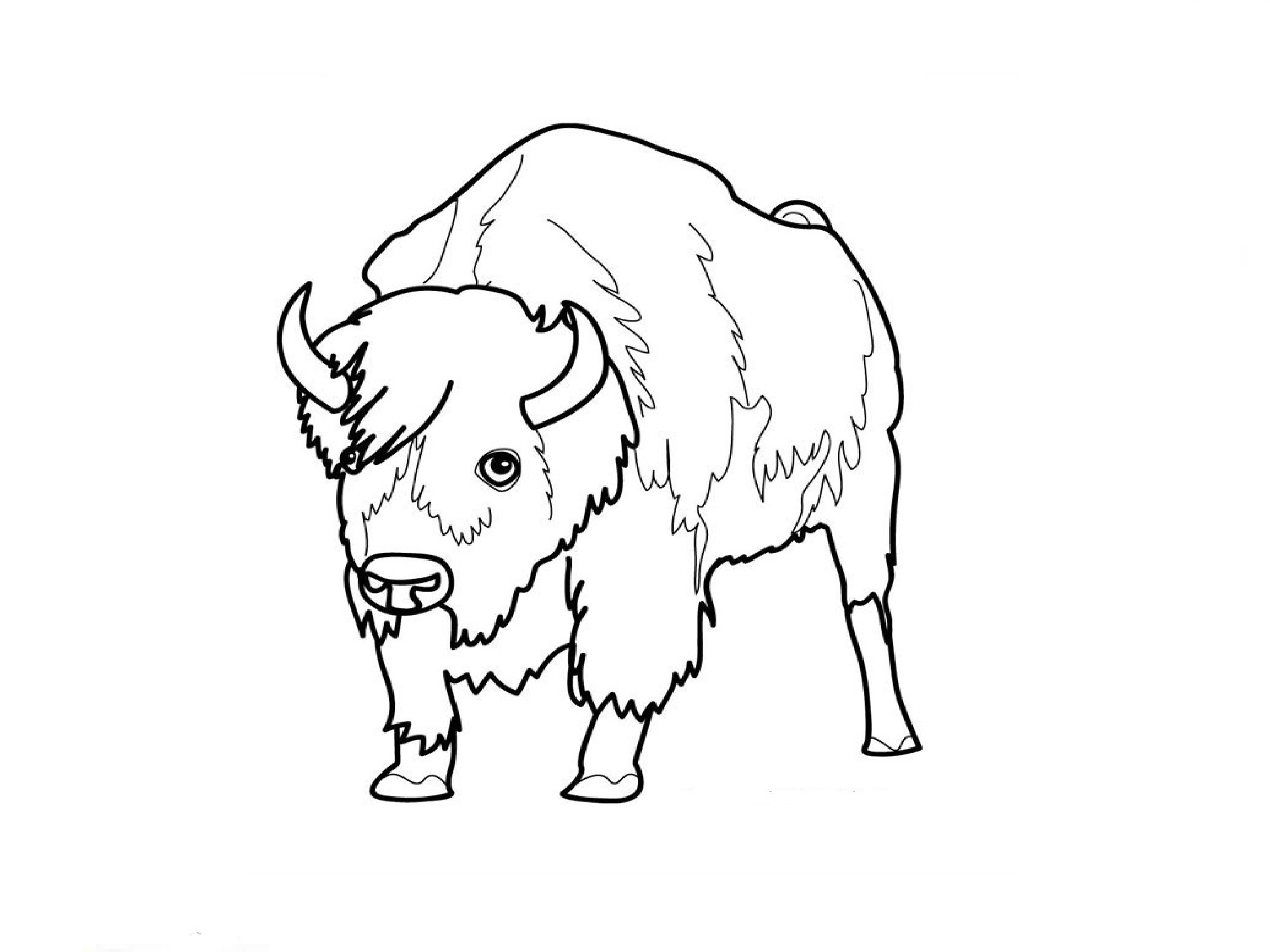 2592x1944 How To Draw An American Bison