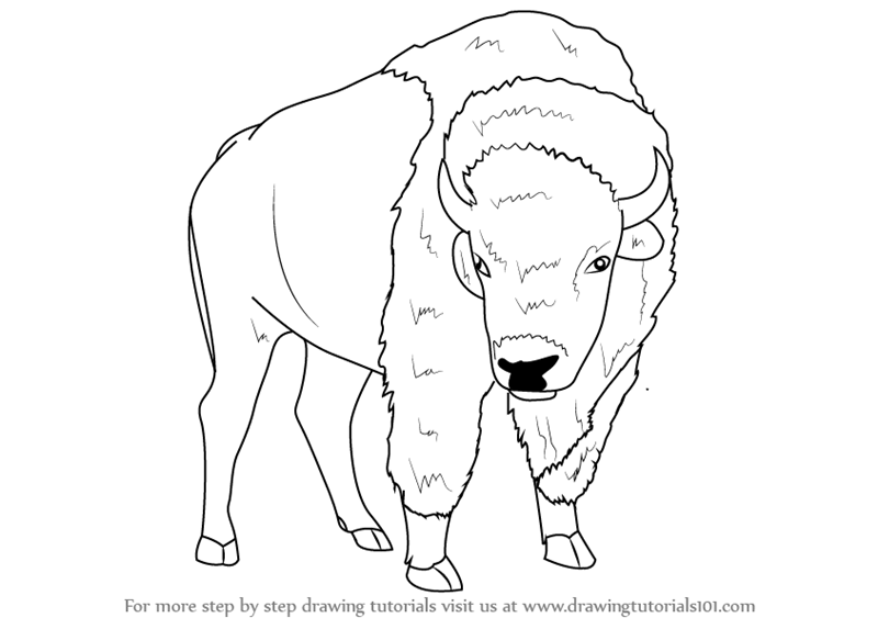800x563 Step By Step How To Draw An American Bison