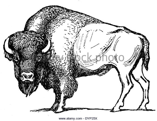 640x494 American Bison Black And White Stock Photos Amp Images