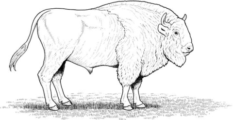480x247 American Bison Coloring Page Free Printable Coloring Pages