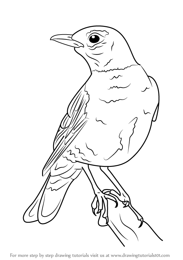 596x843 Learn How To Draw An American Robin (Birds) Step By Step Drawing