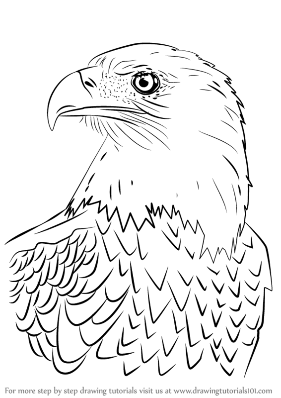 566x800 Learn How To Draw Bald Eagle Head (Bird Of Prey) Step By Step