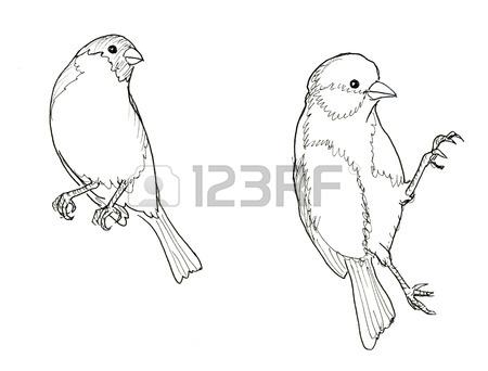American Goldfinch Drawing