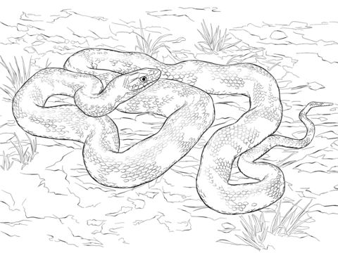 480x360 Black Rat Snake Coloring Page Free Printable Coloring Pages
