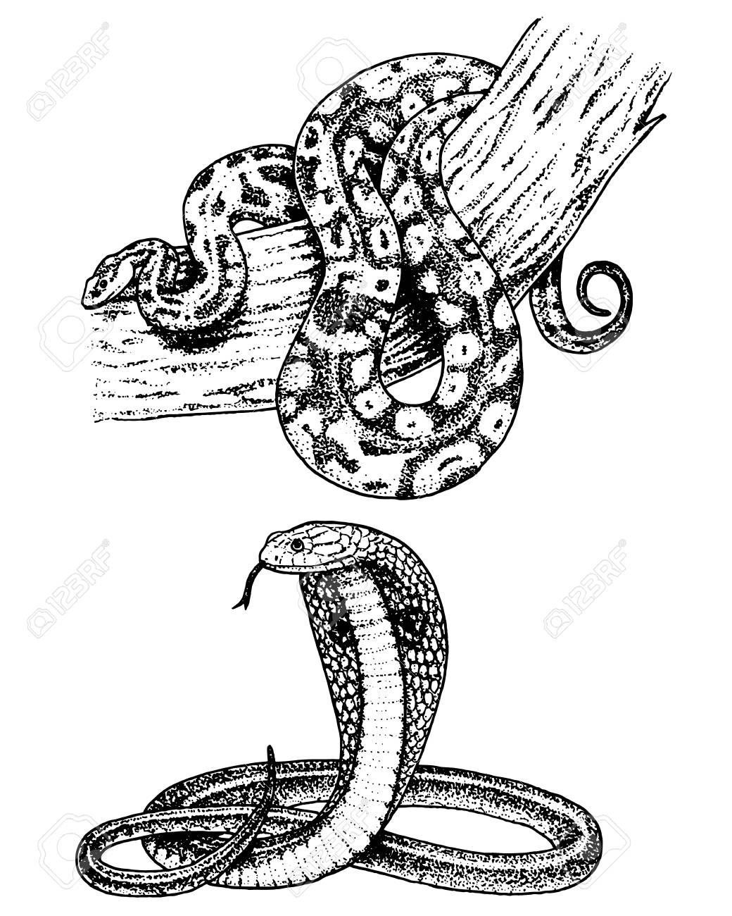 1040x1300 Viper Snake. Serpent Cobra And Python, Anaconda Or Viper, Royal