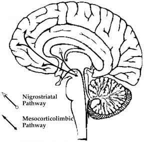 288x284 Anatomical Distribution In The Central Nervous System