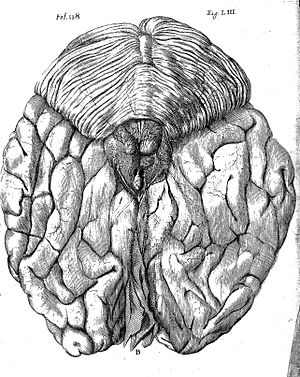 300x377 Fileanatomical Drawing Wellcome L0074962.jpg