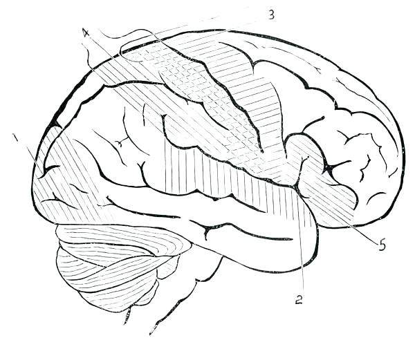 600x492 Human Anatomy Coloring Pages Brain Anatomy Coloring Pages Human