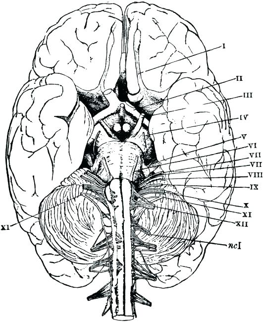 531x650 Human Evolution Coloring Book Brain Anatomy Coloring Book Human