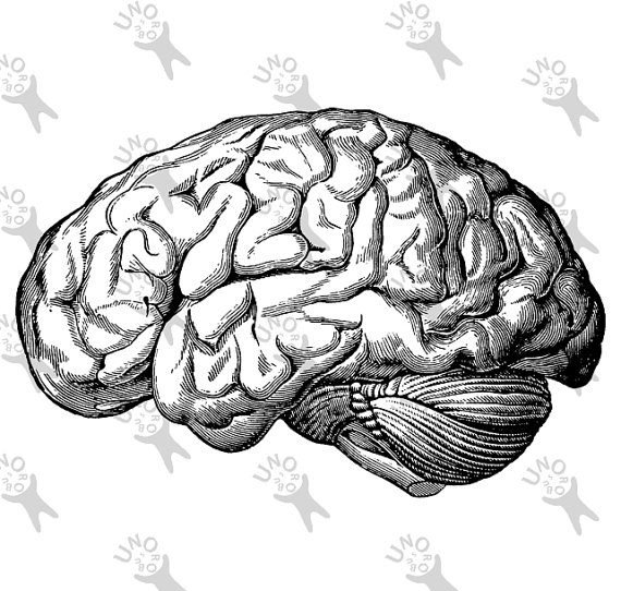 570x542 Vintage Anatomical Brain Clip Art Design Transfer Digital File
