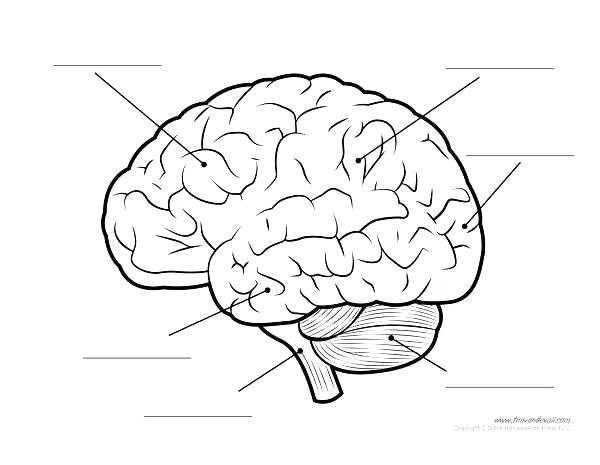 600x465 Brain Anatomy Coloring Pages