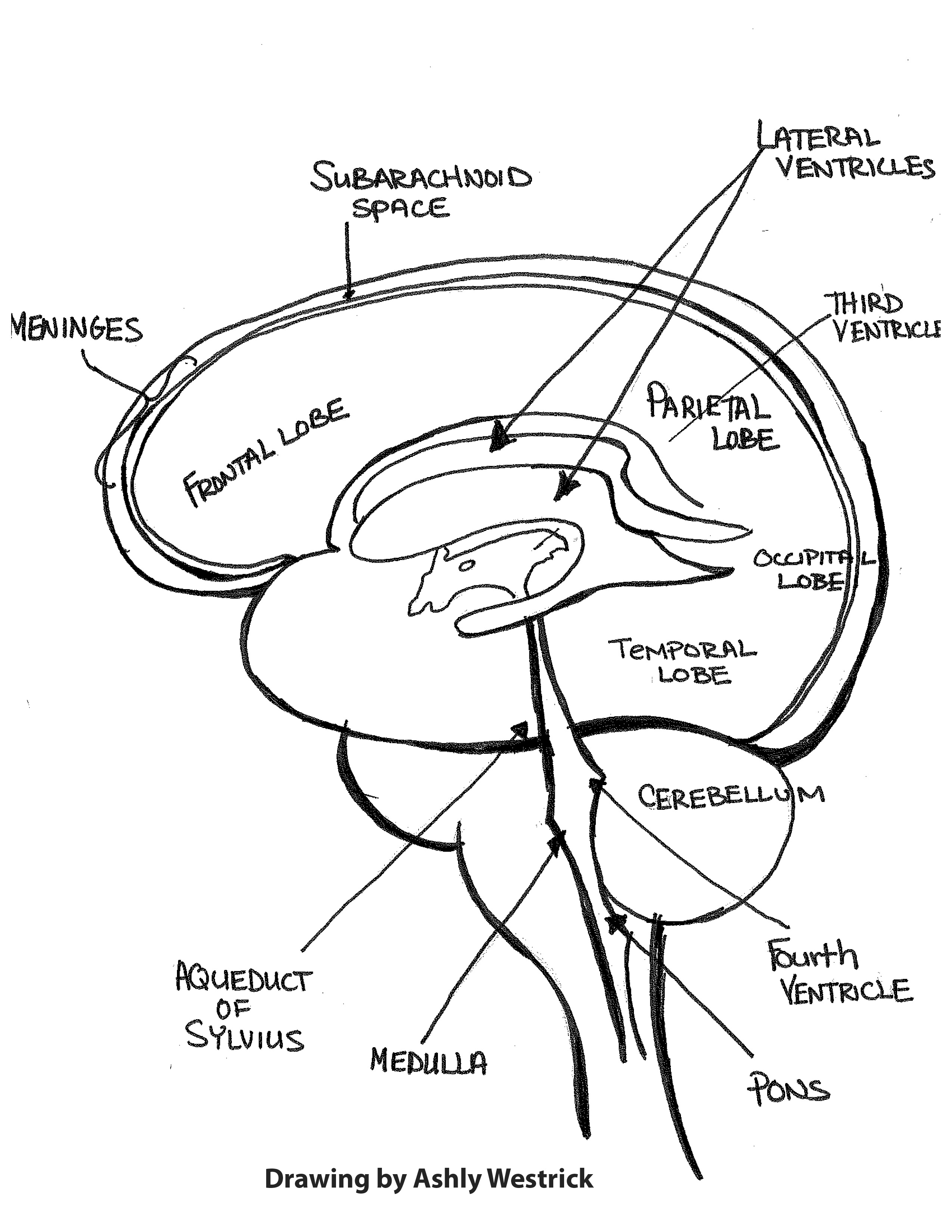 2550x3300 Brain 101 An Overview Of The Anatomy And Physiology Of The Brain