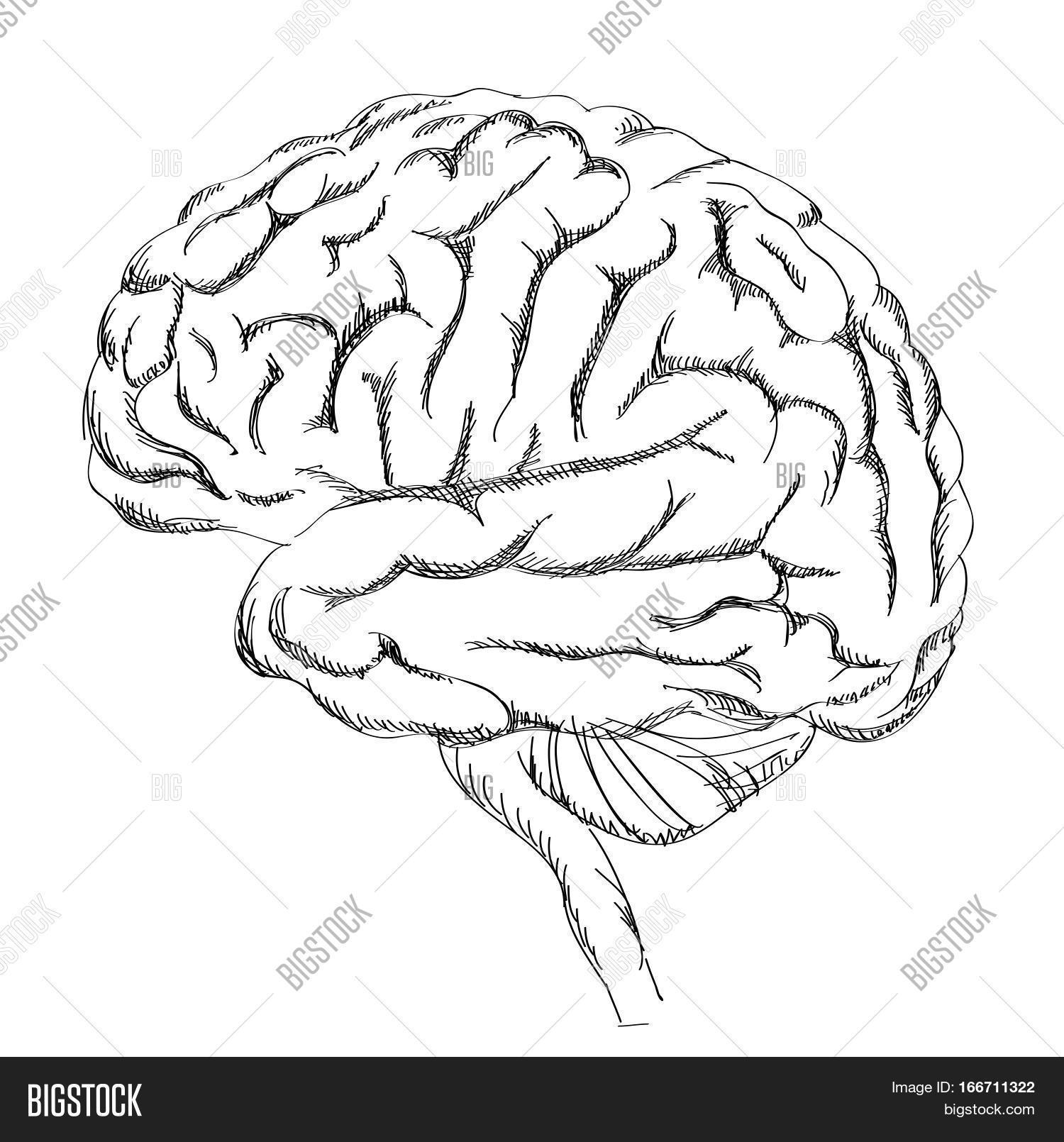 1500x1610 Brain Anatomy. Human Brain Lateral Vector Amp Photo Bigstock