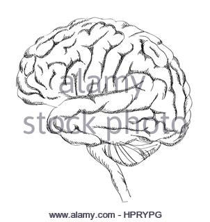 302x320 Brain Anatomy. Human Brain Lateral View. Sketch Illustration