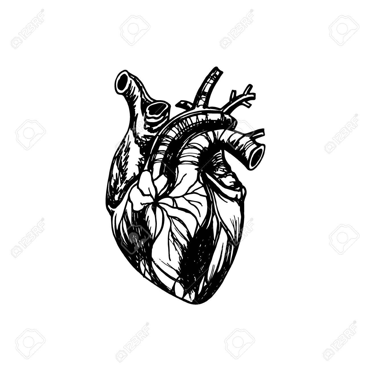 1300x1300 Vector Illustration Of Human Heart. Anatomy Drawing Made