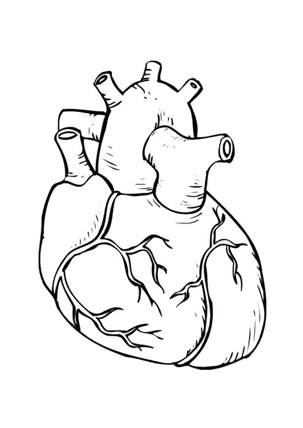 620x875 Anatomy Coloring Pages Heart