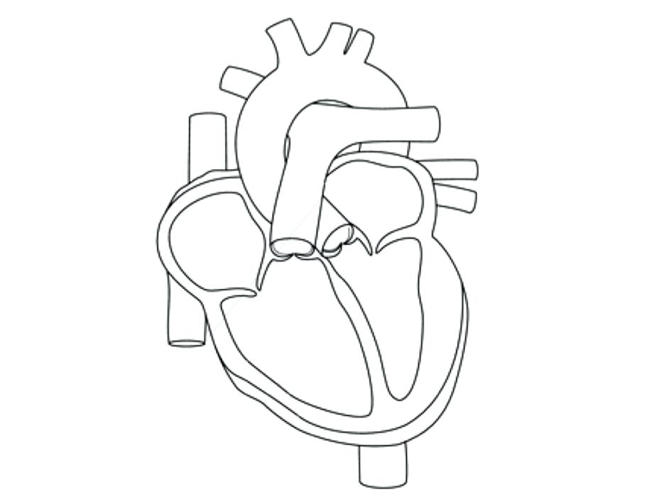 921x690 Anatomical Heart Coloring Pages