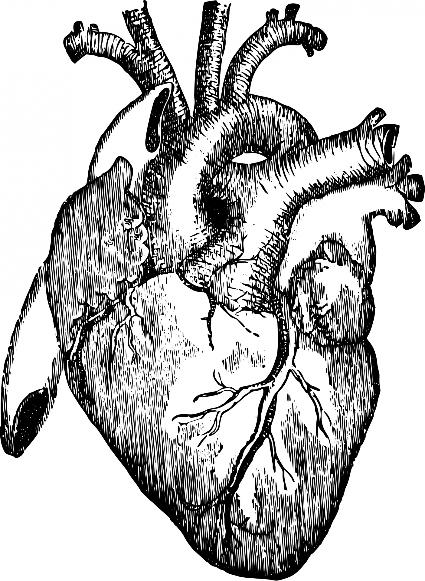 1405x1920 Anatomical Heart Medical Illustration Human Heart Free Stock Photo