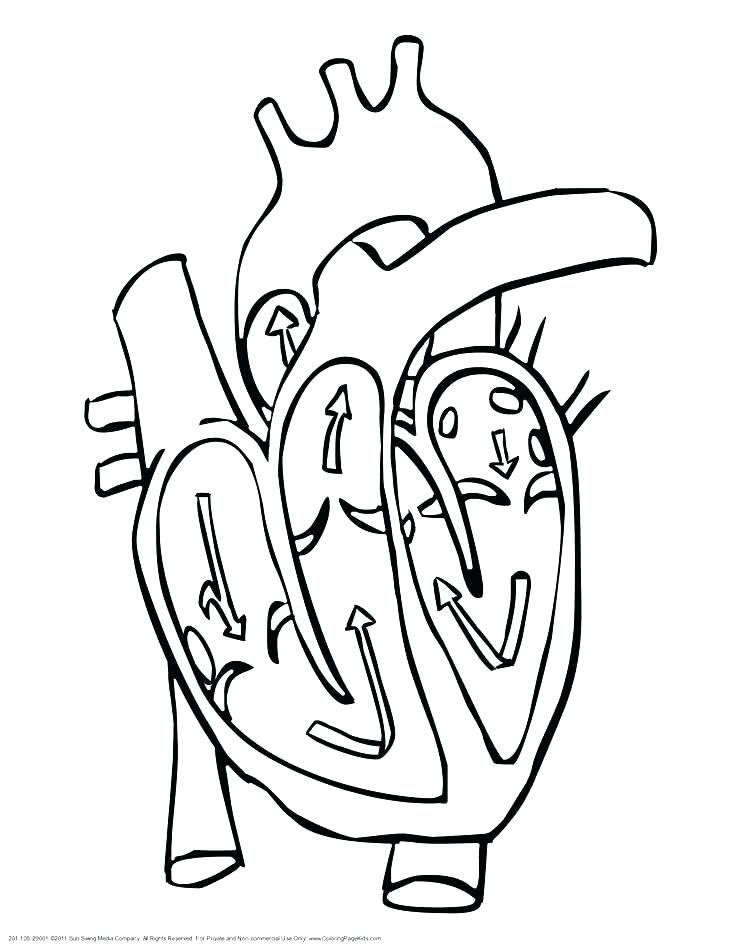 736x952 Heart Coloring Book As Well As Human Heart Coloring Page The Human