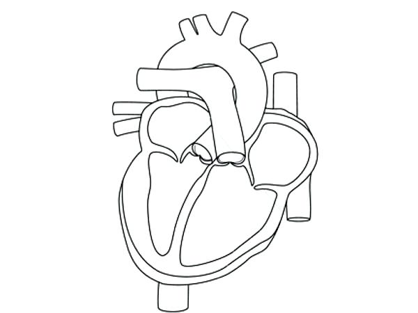 600x450 Human Heart Coloring Page The Human Heart Black White Line Art