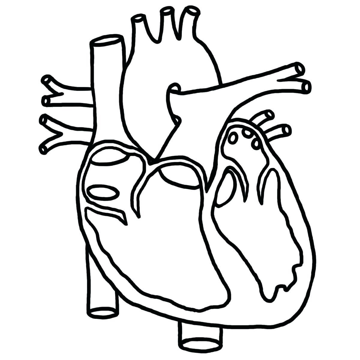 1200x1200 Diagram Anatomical Heart Diagram Organs 4 Human Anatomy