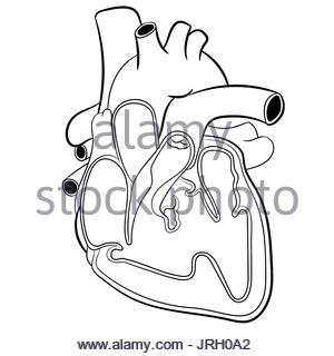 300x320 Anatomical Human Heart Hand Drawn Sketch With Inscription Of Names