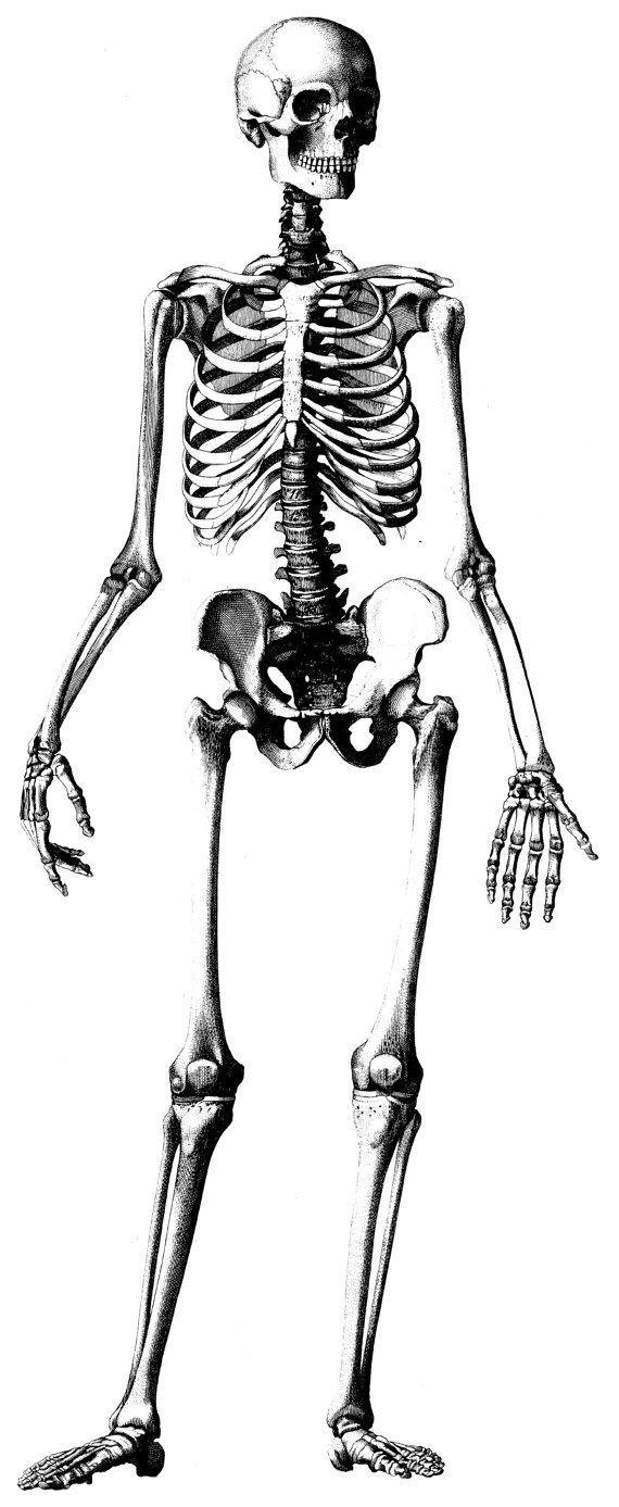 570x1387 Human Anatomy, Old Medical Atlas Illustration Digital Image, 02
