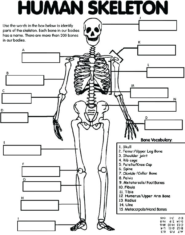 Anatomical Skeleton Drawing at GetDrawings com | Free for