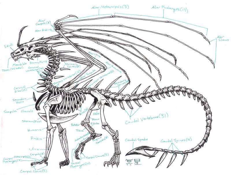 800x606 Zha Skeleton Anatomy By Zhantilniiraala