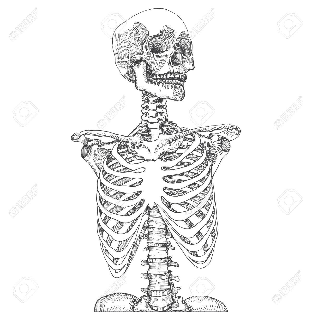 1300x1300 Hand Drawn Anatomical Medical Human Ribcage With Skull. On White