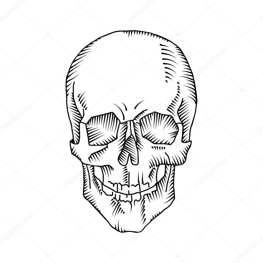 1024x1024 Illustration Of Anatomical Skull Stock Vector Vextok