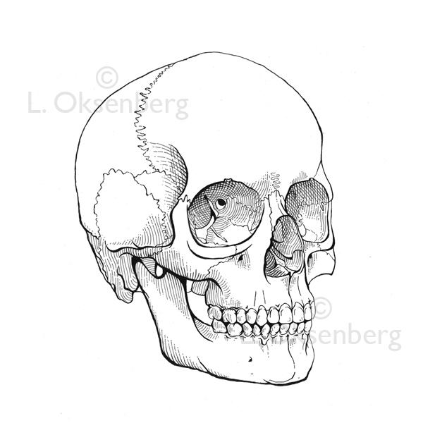 600x600 Skull Line Drawing