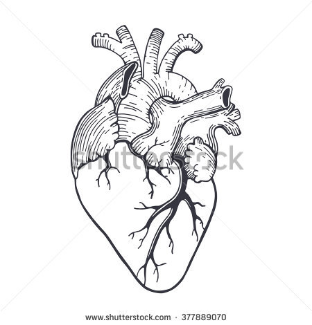 450x470 Heart Anatomy Drawing