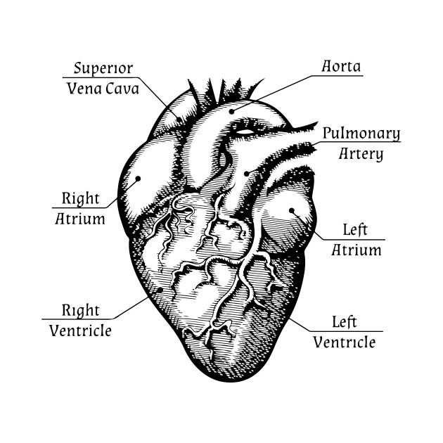Anatomy Heart Drawing