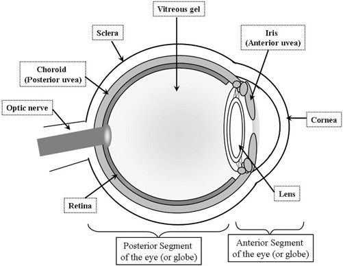 501x388 3 The Ocular Structures. Diagram Of The Anatomy Of The Eye