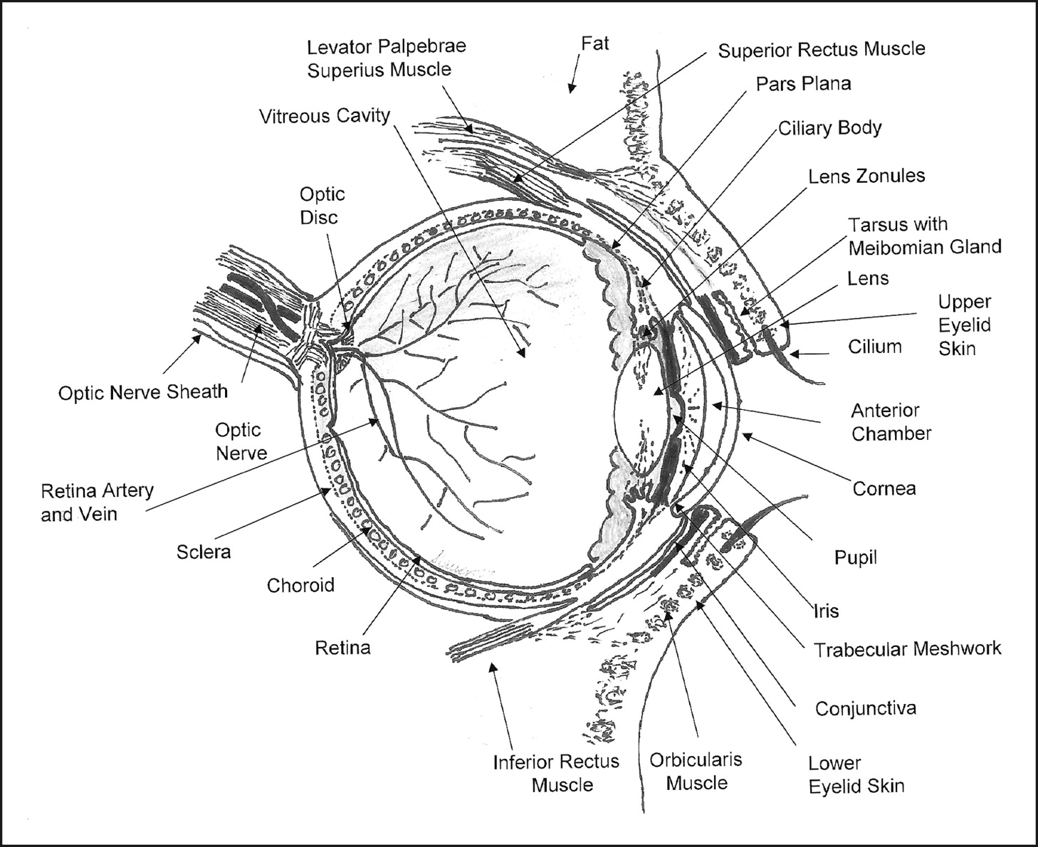anatomy of the eye drawing at getdrawings com