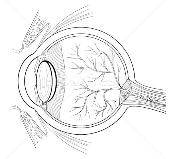 600x560 Anatomy Of The Human Eye Vector Illustration Daniel Cole
