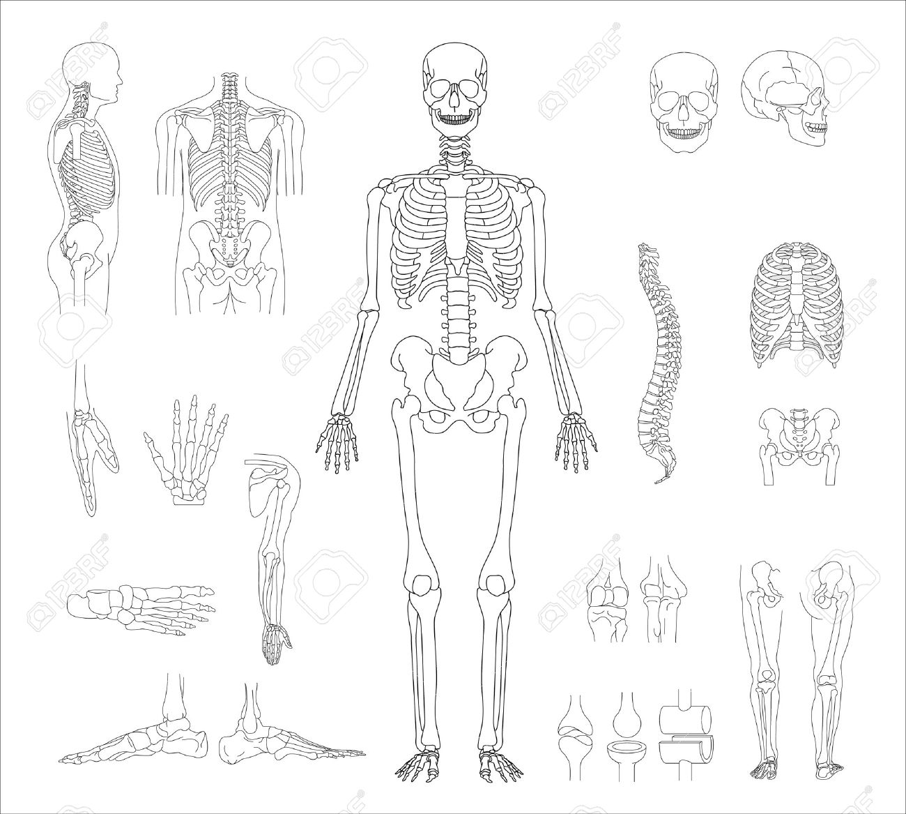 1300x1167 Human Skeleton Royalty Free Cliparts, Vectors, And Stock