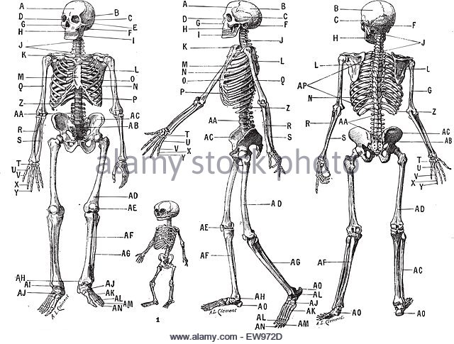 640x485 Human Skeleton Stock Vector Images