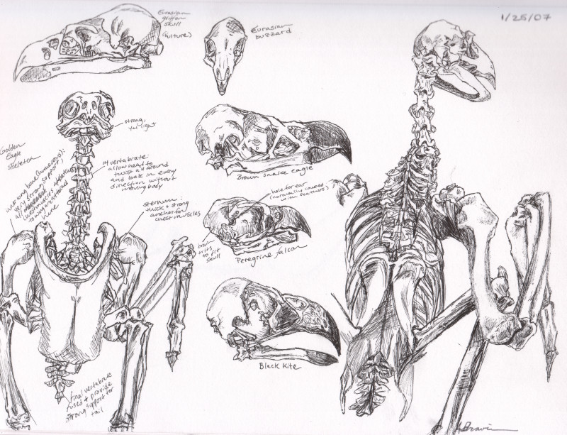 800x613 Birds Of Prey Skeleton Study By Sketchbook Dreams
