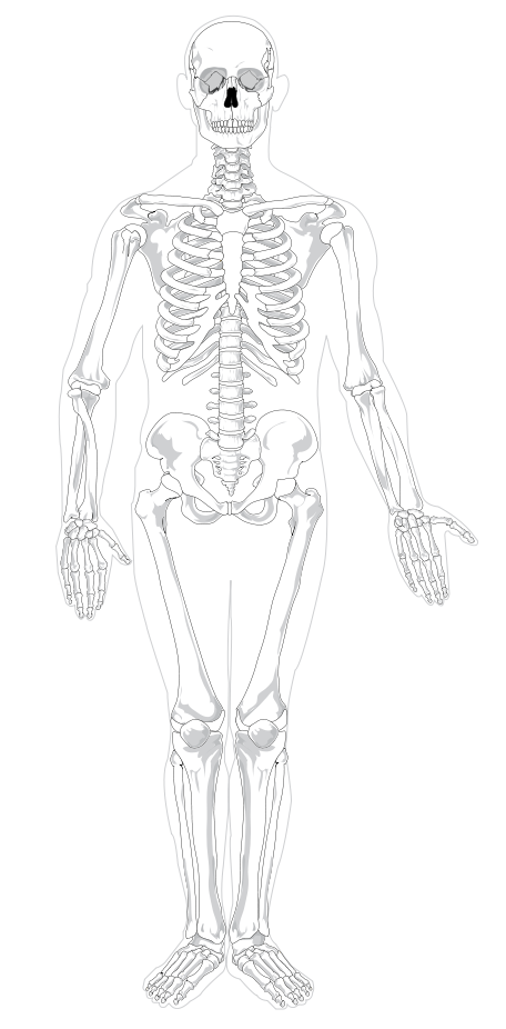 456x926 Filehuman Skeleton Front No Text No Color.svg