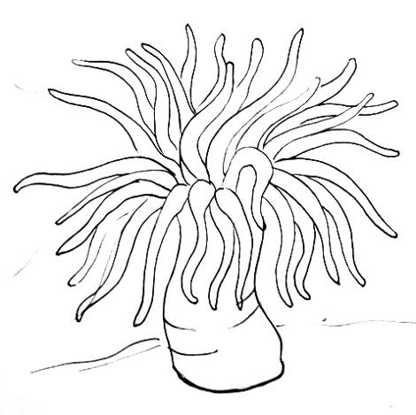 470x469 How To Draw A Sea Anemone