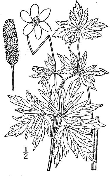 380x600 Thimbleweed, Tall Anemone, Tall Thimbleweed, Anemone Virginiana L