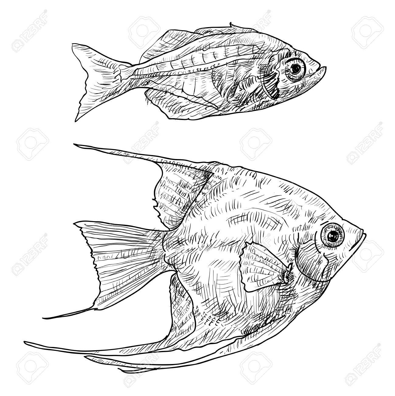 1299x1300 Angel Fish And The Fish With Stripe On Back And Belly Stock Photo