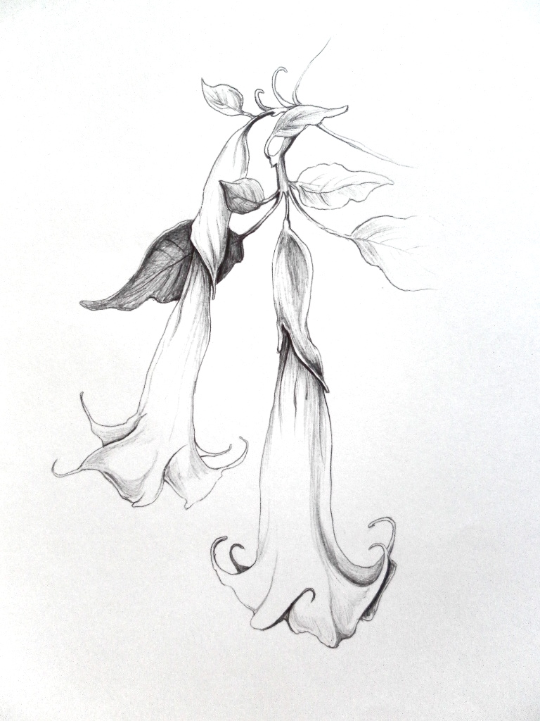 768x1024 angel#39s trumpet by tree squid on DeviantArt